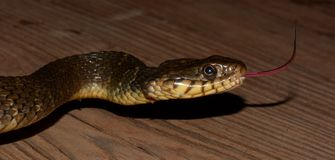 Blotched watersnake Stock Photography