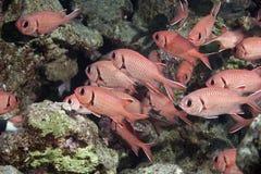 Free Blotcheye Soldierfish Royalty Free Stock Images - 10295529