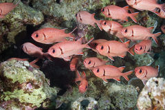 Blotcheye soldierfish Stock Photo
