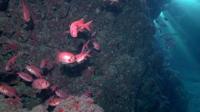 Blotcheye soldierfish  in cave underwater Red sea stock footage