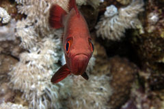 Blotcheye soldierfish (myripristis murdjan). Taken in Na'ama Bay Stock Image