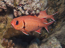 Blotcheye soldierfish på en korallrev Arkivbild