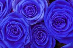 Blou Roses Royalty Free Stock Photo