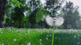 Blow away dandelion. One blowing the dandelion seeds, close up shot stock footage