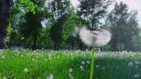 Blow away dandelion stock footage