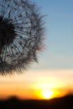 Blow-ball одуванчика на заходе солнца Стоковые Изображения RF