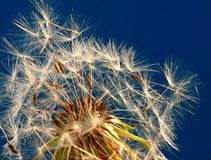 Blow-ball. Dandelion seeds on blue sky background stock image