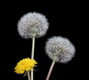 Blow ball of dandelion flower Stock Photography