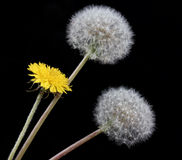 Blow ball of dandelion flower Stock Images