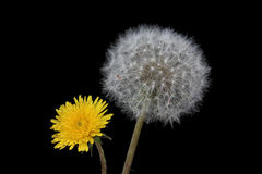 Blow ball of dandelion flower Royalty Free Stock Photo