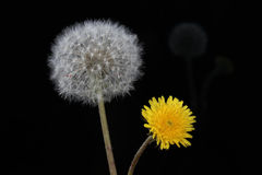 Blow ball of dandelion flower Royalty Free Stock Image