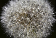Blow Ball Macro. Dandelion Blow Ball Close Up Stock Images