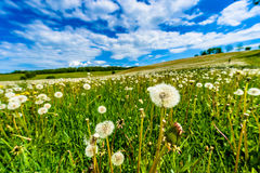 Blow-balls, dandelions in meadow with blue sky and white clouds Royalty Free Stock Images