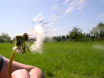 Blow on the Dandelion Stock Images