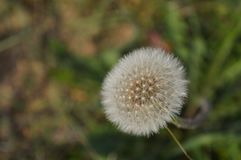 Blow the dandelion up and make a wish! royalty free stock image