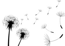 Blow Dandelion. Vector. Blow Dandelion. black. Vector illustration Royalty Free Stock Image