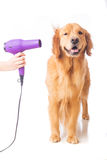 Blow drying dog Stock Photos