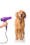 Blow drying golden retriever dog Stock Photo