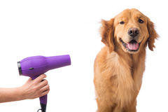 Blow drying golden retriever dog Stock Images