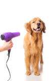 Blow drying golden retriever dog Royalty Free Stock Photo