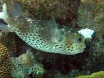 Blow fish stock photos