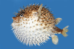 Blow Fish Side View Stock Photography