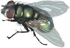 Blow fly Royalty Free Stock Photos
