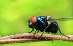 Blow fly on a branch. Close up shot of a blow fly Royalty Free Stock Photos