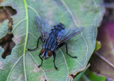 Blow fly, carrion fly, bluebottles or cluster fly.  Royalty Free Stock Photos