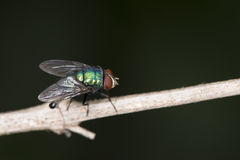 Blow Fly. Carrion fly, bluebottles, greenbottles, or cluster fly Royalty Free Stock Photography