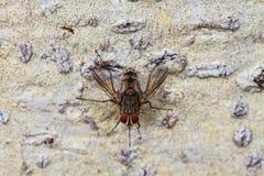 Blow fly, carrion fly, bluebottles, greenbottles, or cluster fly. Close up Blow fly, carrion fly, bluebottles, greenbottles, or cluster fly Stock Photography