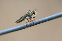 Blow fly, carrion fly, bluebottles, greenbottles, or cluster fly. Close up Blow fly, carrion fly, bluebottles, greenbottles, or cluster fly Royalty Free Stock Images