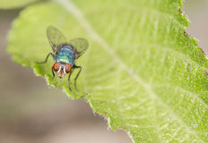Blow Fly on a Leaf. Blow fly, carrion fly, bluebottles, greenbottles, or cluster fly on a leaf Royalty Free Stock Images
