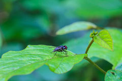 Blow fly, carrion fly. Close up Blow fly, carrion fly, bluebottles, greenbottles, or cluster fly Stock Images