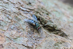 Blow fly, carrion fly. Close up Blow fly, carrion fly, bluebottles, greenbottles, or cluster fly Royalty Free Stock Photography