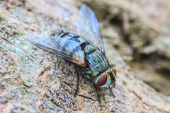 Blow fly, carrion fly Stock Photos