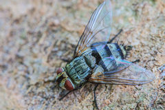 Blow fly, carrion fly Royalty Free Stock Photography