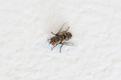 Blow fly, carrion fly on wall Stock Images