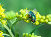 Blow fly close up Stock Images