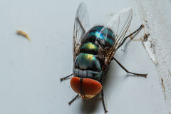 Blow fly. Close up shot Stock Photo