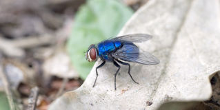 Blow fly on the dry leaf Stock Photography