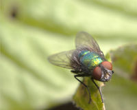 Blow fly on a leaf. A macro close-up of a Blow fly Royalty Free Stock Photo