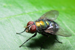 Blow fly. On a leaf Stock Images
