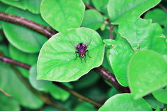 Blow fly on leaf. Blow fly standing on leaf Royalty Free Stock Image