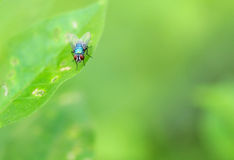 Blow fly and leaf. A blow fly stop on a leaf with green background Royalty Free Stock Photography