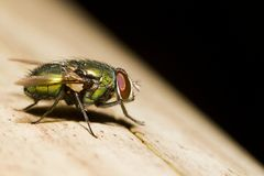 Blow Fly (Lucilia caesar). Close view detail of a male Blow Fly (Lucilia caesar Royalty Free Stock Photography