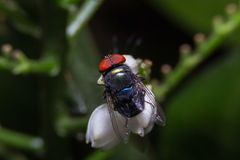 Blow-fly pathogens are glands dung,Blow-fly,Chrysomya megacephal. A Stock Images