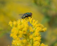 Blow fly sitting on blossoms of a goldenrod. Greenbottle, an insect on flowers of a yellow blooming plant Stock Photography