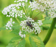 Blow fly sitting on a flower Royalty Free Stock Images