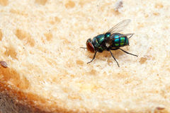 Blow fly. Sitting on a piece of bread (Lucilia caesar, Calliphoridae). Macro stock photo